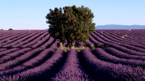 Download Lavender Field in Plateau Valensole nulled download
