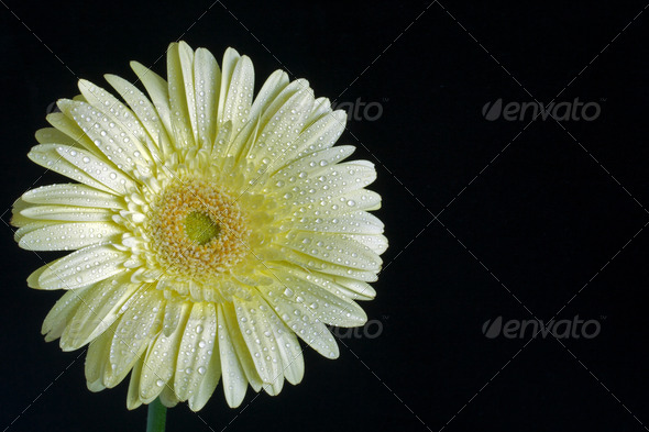 Cream gerbera daisy - Stock Photo - Images