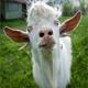 Goat Bleating