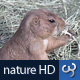 Nature HD | Prairie Dog - VideoHive Item for Sale