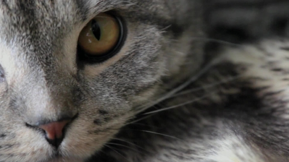 Download Scottish Fold Cat With Wide Eyes Watching nulled download