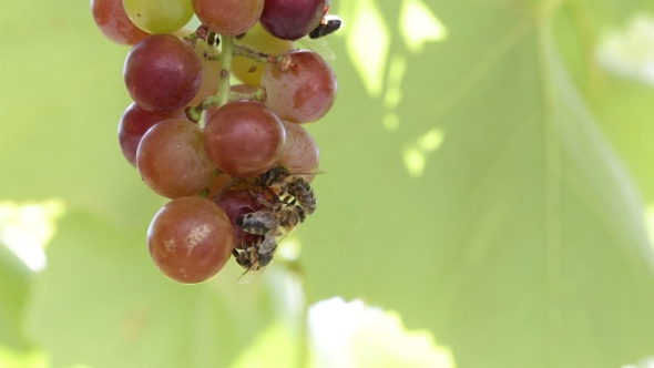 Download Bees Are Eating The Grapes. nulled download