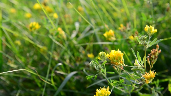 Download Field Yellow Clover In Grass nulled download