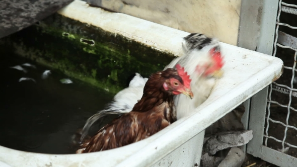 Download Two Chickens In Water nulled download