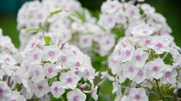 Download Beautiful White Varietal Phlox nulled download