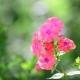Beautiful Bright Pink Varietal Phlox