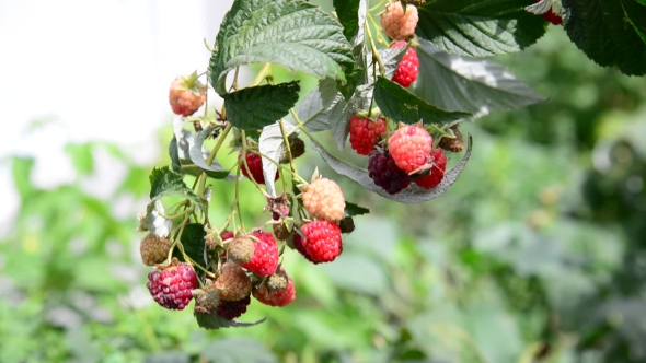 Download Ripe Raspberries On The Branch nulled download