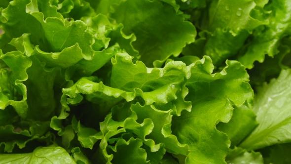 Download Of Salads Leaf nulled download