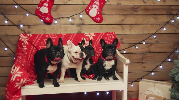 Download Frenxh Bulldogs Sitting Under Xmas Tree nulled download