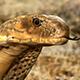 Realistic King Cobra Rig