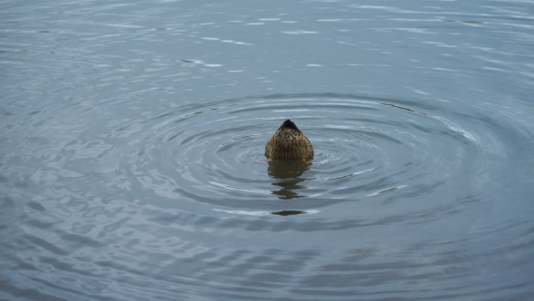 Download Footage Duck Swimming On The Lake In Park. nulled download