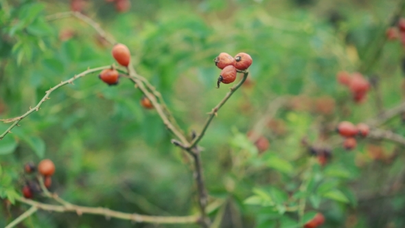 Download Twigs Of Dog-berries In nulled download