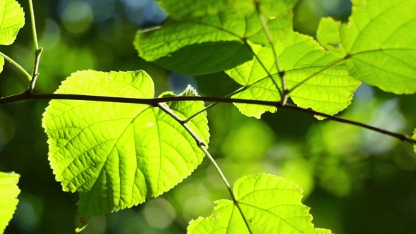 Download Sunlight Through The Spring Leaves nulled download
