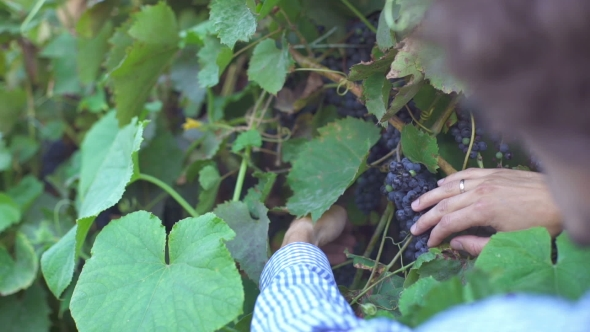 Download Man Working In His Vineyard nulled download