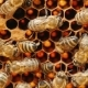 Bees Work On Cells With Honey