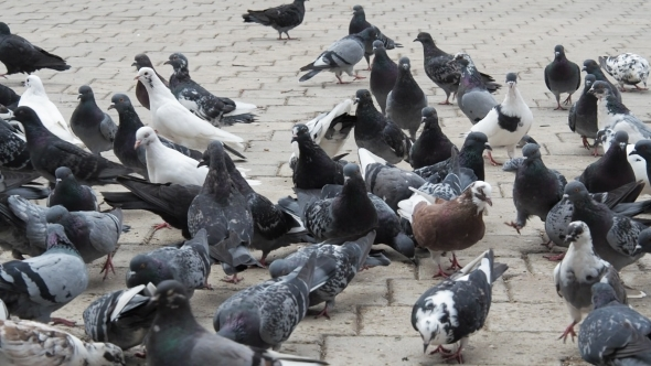 Download Pigeons In a City, Flock Of Birds nulled download