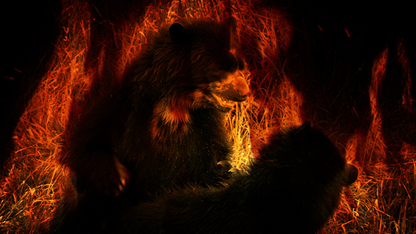 Download Bears Fight In Flames Abstract nulled download