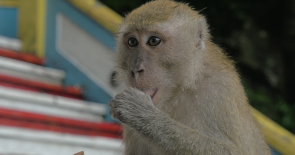 Download At Batu Caves, Malaysia Seen  Monkey nulled download