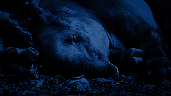 Download Tapir Resting In Jungle At Night nulled download