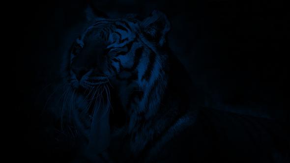 Download Tiger Yawning At Night nulled download
