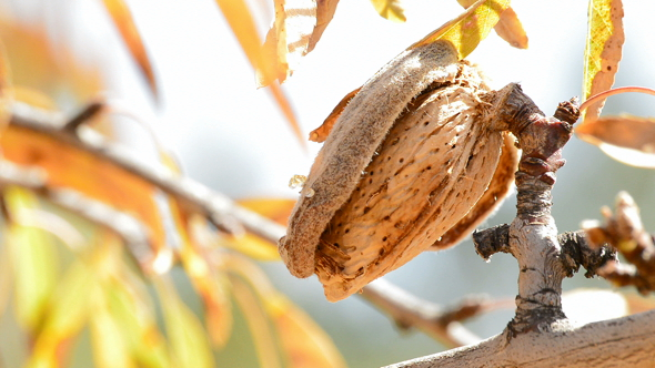 Download Almond in Branch of Almond Tree nulled download