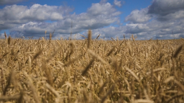 Download Wheat Ears In Field nulled download