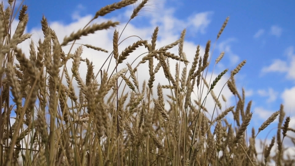 Download Of Wheat Ears In Field. nulled download