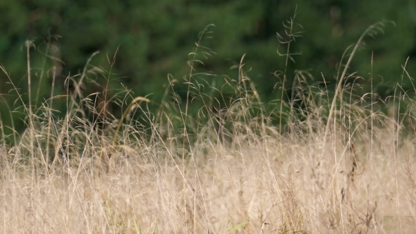 Download Dry Yellow Grass Swaying In The Wind nulled download