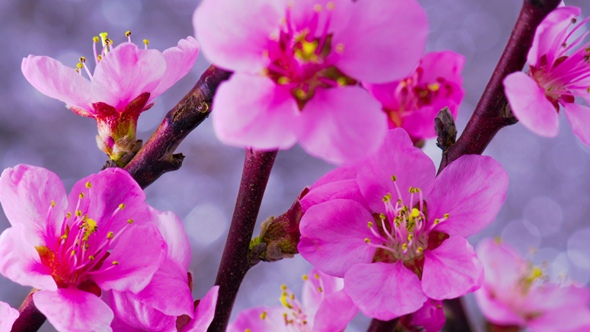 Download Pink Cherry Tree Flowers. nulled download