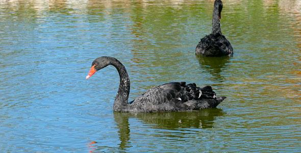 Download Black Swan nulled download