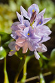 Water Hyacinth - PhotoDune Item for Sale