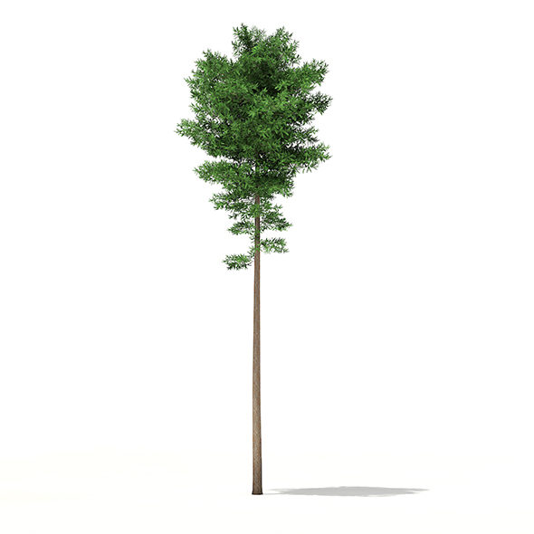 Scots Pine Tree (Pinus sylvestris) 29.4m - 3DOcean Item for Sale