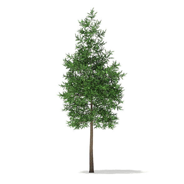 Scots Pine Tree (Pinus sylvestris) 8.4m - 3DOcean Item for Sale