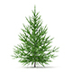 Norway Spruce (Picea abies) 1.5m