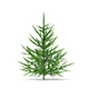 Norway Spruce (Picea abies) 1m