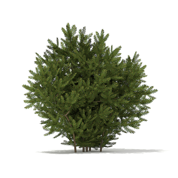 European Yew (Taxus baccata) 1.4m - 3DOcean Item for Sale