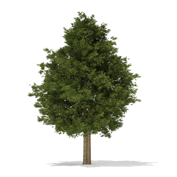 European Yew (Taxus baccata) 12.6m - 3DOcean Item for Sale