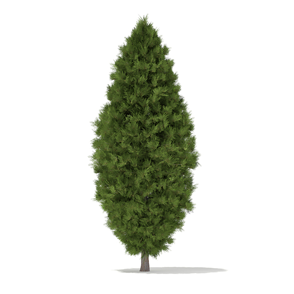 White Cedar (Thuja occidentalis) 3.4m - 3DOcean Item for Sale