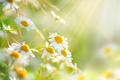 Chamomile field flowers border. Beautiful nature scene with bloo