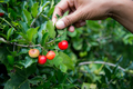Picking cherry thai in the field