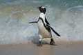 African penguin running