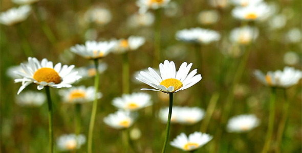 VideoHive Camomile Flowers 1814597