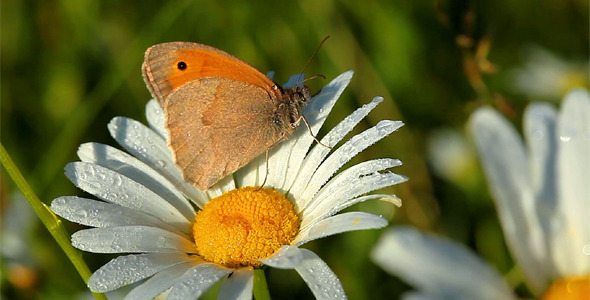 Butterfly And Camomile