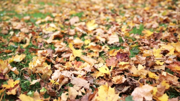 Download Fallen Autumn Maple Leaves On Meadow 13 nulled download