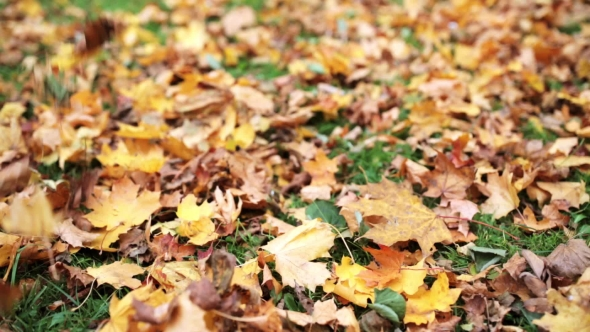 Download Fallen Autumn Maple Leaves On Meadow 14 nulled download