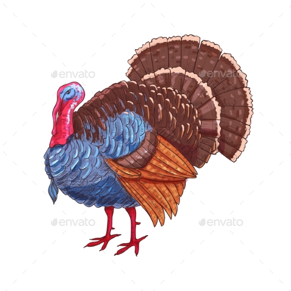 Thanksgiving Isolated Turkey Vector Color Sketch