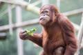 Orangutan Eating with a Funny Look