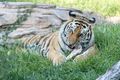 Tiger Eating in a Grassy Field