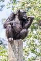 Thinking Chimpanzee on a Post