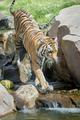Tiger Walking Along Rocks